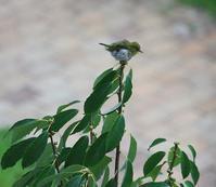 今日の鳥さん 170814(№2) - 万願寺通信