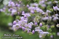 蕾も可愛い小さな花 - White Love
