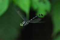 普通種でも - 蝶と蜻蛉の撮影日記