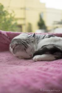 猫 ネコ 寝子 - となりのフォトロ