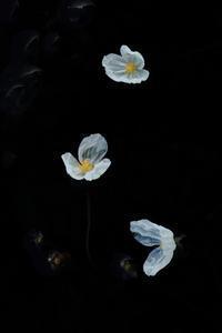 白い妖精 - 心 色