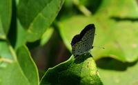 2017 残暑の近場 - 紀州里山の蝶たち