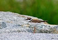 ・コチドリ - 鳥見撮り