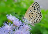 フジバカマの花にヤマトシジミ - JUNJUNのブログへようこそ!