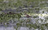 ムナグロノ水浴び後の羽ばたき - 私の鳥撮り散歩