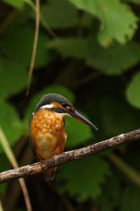 カワセミの幼鳥、既に♀の特徴が・・・ - 武蔵野散歩Ⅱ