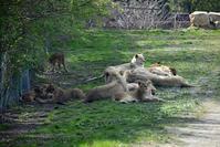 2017.5.3 東北サファリパーク☆パークのライオンたち【Lions】 - 青空に浮かぶ月を眺めながら