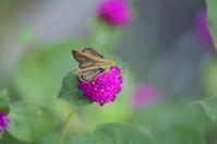 チャバネセセリ他 8月19日 庭にて - 超蝶