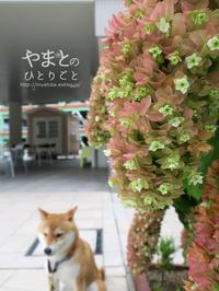 カシワバアジサイの紅葉 - yamatoのひとりごと