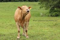 赤牛さん最高の笑顔 - イチガンの花道