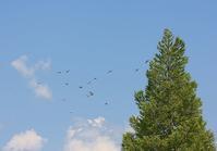 今日の鳥さん 170819 - 万願寺通信