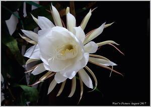 月下美人 今年も咲いた - 野鳥の素顔 <野鳥と・・・他、日々の出来事>