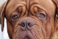 Bordeaux Mastiff - りゅう太のあしあと