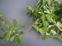 オメガ3たっぷりの野草-Portulaca(伊) - 野草を摘みに