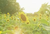 夕方の向日葵 - photomo