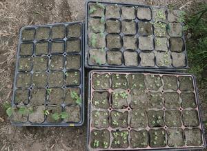 秋の種まき第一弾。新春玉葱も蒔きました。 - ブルーベリーの育て方& 栽培 ブルーベリー ノート BlueBerryNote