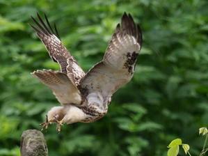ノスリ幼鳥 -