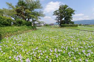 少し早めの本薬師寺跡~ホテイアオイ - katsuのヘタッピ風景
