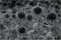 sunflower*Ⅱ - It's only photo