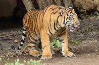 来月1歳になるスマトラトラの「パンプ」と、「ファントム」(よこはま動物園ズーラシア) - 旅プラスの日記