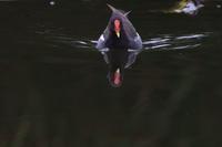 バン 3 赤と黒 - 気まぐれ野鳥写真
