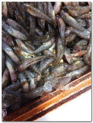 ゴリ/鮴............ 淡水に生息する小さなハゼ類の総称? - 魚屋三代目日記