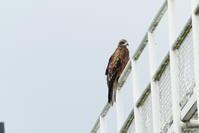 トビの狩り - 西多摩探鳥散歩