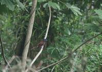 サンコウチョウのアイリング - 写真で綴る野鳥ごよみ