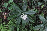 ■ 夏の草花 3種   17.8.21   (ヤブミョウガ、クコ、オミナエシ) - 舞岡公園の自然2