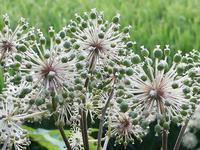 ウドの花かな - 自然と仲良くなれたらいいな2