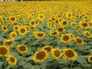 那珂市の「向日葵」 -