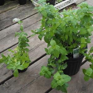 ハーブは環境によって状態が変わります。 - sola og planta ハーブとお花のお庭日記