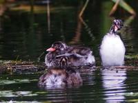 沼のチビちゃんのその後 - 今日の鳥さんⅡ