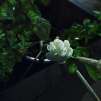 *茉莉花茶のための試飲会的茶会〜 - salon de thé okashinaohana 可笑的花