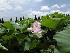千栗土井公園の蓮の花 - のっちの温泉日記