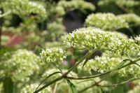 処暑(8/23~9/6)のころ、宮迫で咲く花 - 宮迫の! ようこそヤマボウシの森へ