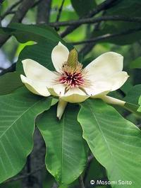 ホオノキ(朴の木) - 草花と自然Blog