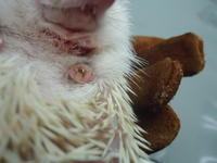ハリネズミがブームらしいですね - アルゴ動物病院日記