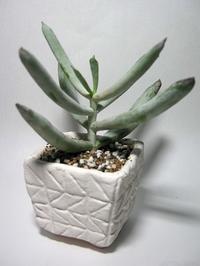 ホワイト・スプライト - North Lake Plants