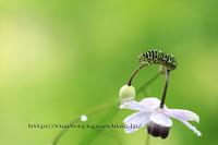 夏の風景 森の妖精 レンゲショウマとコラボ パート2 - イチガンの花道