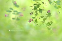 野守草 - のもりぐさ - お花びより