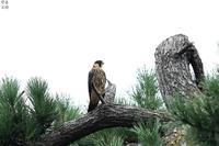 チゴハヤブサ 飛び立つ - 野鳥公園