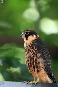 チゴハヤブサ 幼鳥 - 野鳥公園