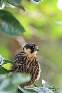 エンゼルポーズもどき? チゴハヤブサ - 野鳥公園