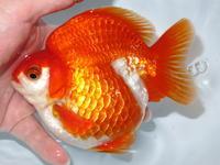 8月25日新着金魚のご紹介です。 - フルタニ金魚倶楽部blog