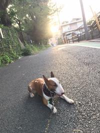 バテバテの朝散歩 - ミニチュアブルテリアダージと一緒2