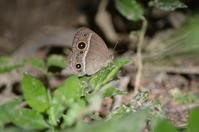 コジャノメ 8月26日 - 超蝶