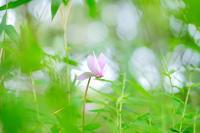 原種シクラメンのピンク色 - ルンコたんとワタシの心模様