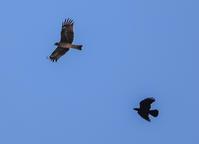 これは? ベランダから猛禽類とカラスのチェイス - ぼくの写真集2・・・Memory of Moment