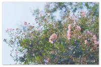 ピンク色の百日紅。 - Yuruyuru Photograph
